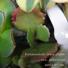 Kalanchoe longiflora var. coccinea / 朱蓮 / 赫蓮