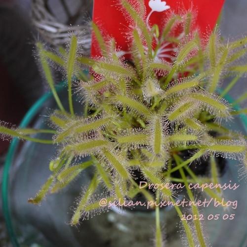 Drosera capensis / 好望角毛氈苔 / モウセンゴケ