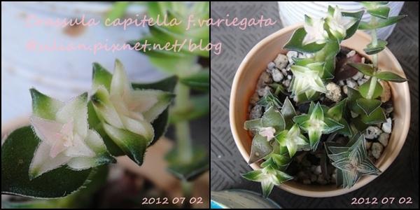Crassula capitella f.variegata / 茜之塔錦 / 暁の峰 / 茜の塔錦 / 茜の峰