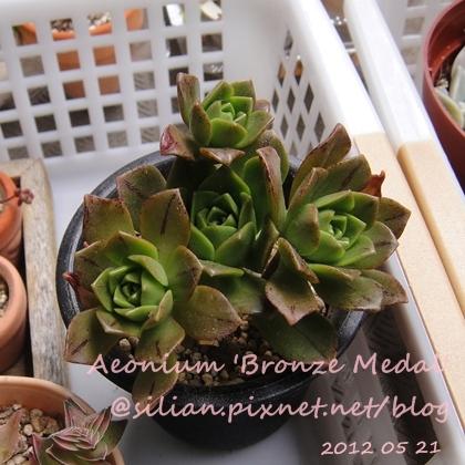Aeonium 'Bronze Medal' / 斑葉法師 / 伊達法師