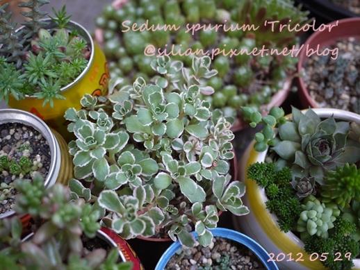 Sedum spurium 'Tricolor' / 五色葉ミセバヤ / トリカラー