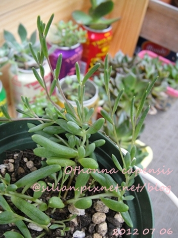 Othonna capensis (=O.crassifolia) / Othonna capensis 'Little Pickles' / 黃花新月 / カペンシス