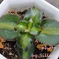 Crassula sarmentosa f. variegata / 長莖景天錦 / 錦乙女 / サルメントーサ 中斑
