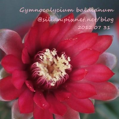 Gymnocalycium baldianum / 緋花玉 / ヒカ玉
