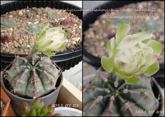 Gymnocalycium mihanovichii var. friedrichii / 牡丹玉