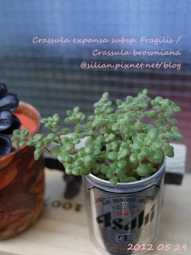 Crassula expansa subsp. Fragilis / Crassula browniana / ベキュリアリス / ペクリアリス / ブロウメアナ