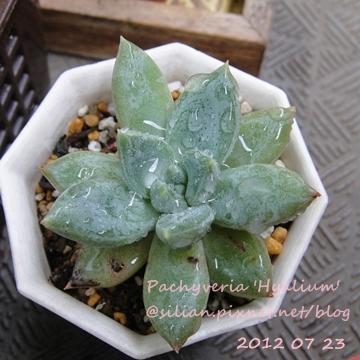 Pachyveria 'Hyalium' / ヒアリューム / ヒアリウム