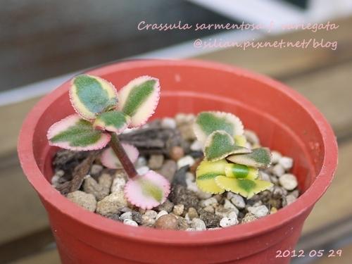 Crassula sarmentosa f. variegata / サルメントーサ / 錦乙女 / 長莖景天錦