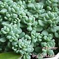 Sedum dasyphyllum 'Opaline' / Sedum dasyphyllum var. alternum(日) / 大型姬星美人(青)