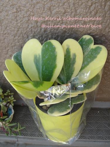 Hoya Kerrii albomarginata / Hoya Kerrii variegata / 斑葉心葉毬蘭 / シャム桜蘭 / ハートホヤ / ホヤ・カーリー