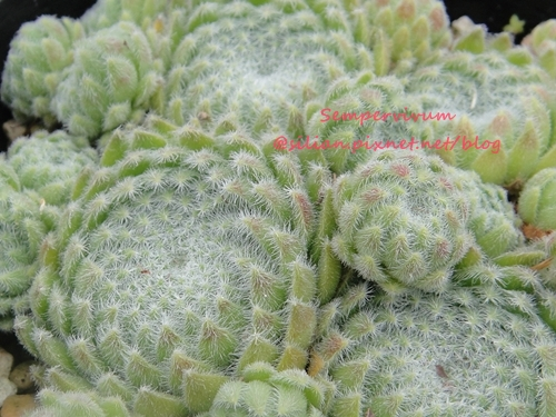 120628 Joyful Honda 印西 Sempervivum ciliosum var. borisii