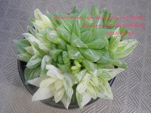 Haworthia cymbiformis var. angustata f. variegata / 京の華錦 / 京之華錦