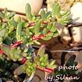 Portulaca gilliesii / ポーチュラカ ギリエシー / 流星ポーチュラカ / 小松葉牡丹 / 紫糯米 / 紫米飯