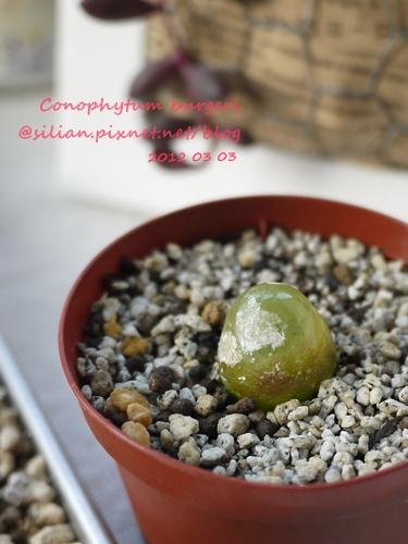 Conophytum burgeri / 大燈泡 / ブルゲリー / ブルゲリ