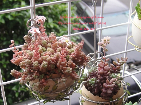 Sedum dasyphyllum / 姬星美人 / 姫星美人ひめほしびじん