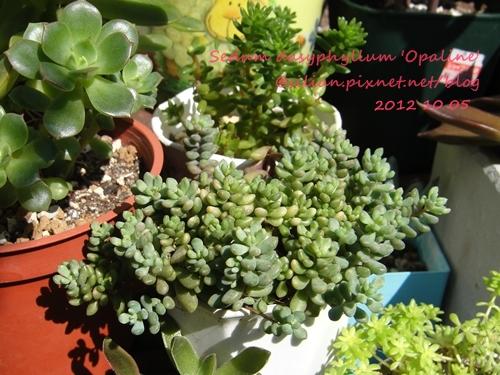 Sedum dasyphyllum 'Opaline' / 大型姬星美人 / 大姬星美人 / 青いダシフィルム