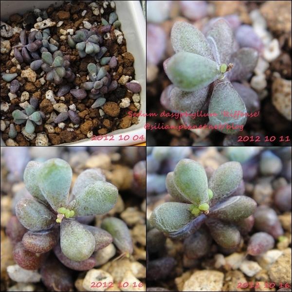 Sedum dasyphyllum 'Riffense' / 大型姬星美人 / 大姬星美人 / 赤いダシフィルム