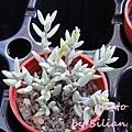 Crassula pruinosa / Crassula punctulata(biplanata) / プルイノーサ / パンクチュラータ