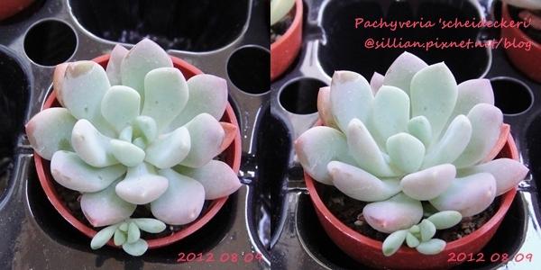 Pachyveria 'scheideckeri' / 立田(たつた) / シャイアン