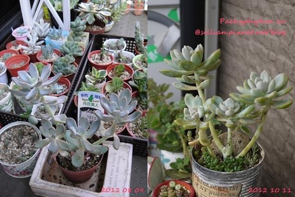 Pachyphytum cv.  / 月花美人(げっかびじん) / 見返美人(みかえりびじん)