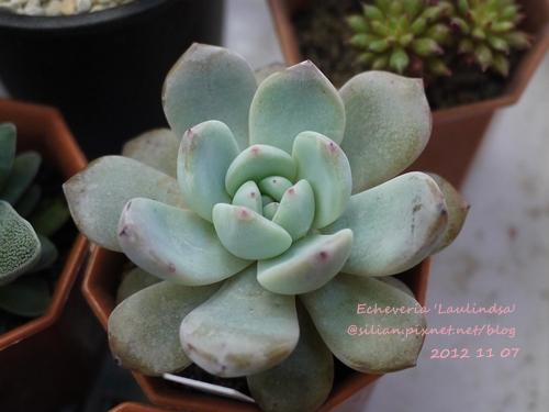 Echeveria 'Laulindsa' / ラウリンゼ / 大雪蓮
