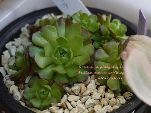 Rosularia platyphylla / ロスラリア プラティフィラ