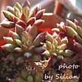 Echeveria 'Spruce-Oliver' / 晃輝殿 / 紅輝殿 / スプルセオリバー
