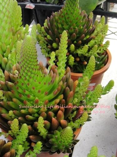 Orostachys japonicus / 爪蓮華