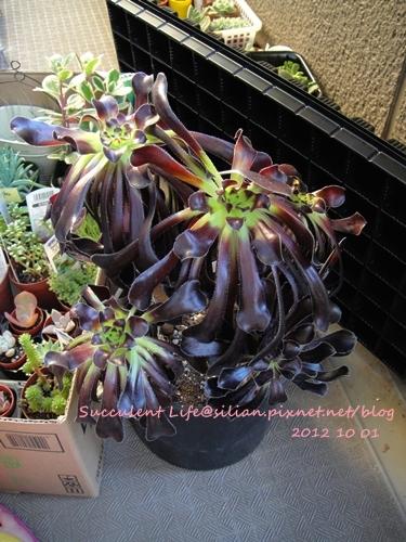 Aeonium arboreum var. atropurpureum / 黒法師 / 黑法師