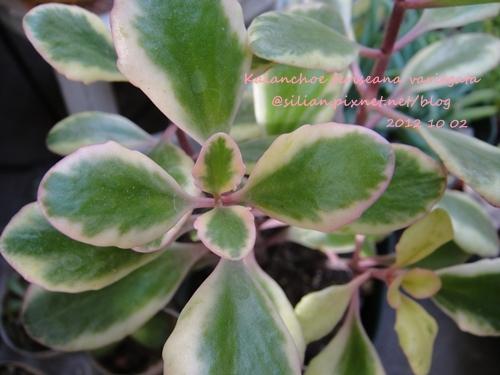 Kalanchoe feriseana variegata / フェリセアナ錦  / 花葉圓貝草