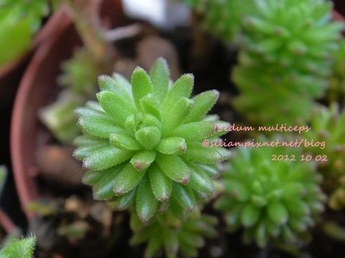 Sedum multiceps / 小松緑 / こまつみどり / 小松綠