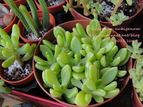 Delosperma nubigenum / ヌビゲナム