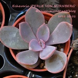 Echeveria 'PERLE VON NURNBERG' / パールフォンニュルンブルグ / 紐倫堡珍珠