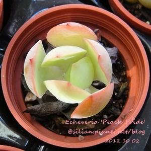 Echeveria 'Peach Pride' / ピーチプリデ