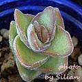 Crassula rupestris 'Jade Tower' / Crassula perfoliata v.falcata x rupestris ssp.marnieriana' / ジェイドタワー