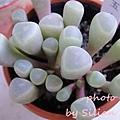 Fenestraria rhopalophylla ssp. Aurantiaca / 五十鈴玉