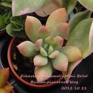Echeveria 'Hummel's Mini Belle' / Echeveria 'Mini Belle' / ミニベル / 樹狀石蓮 / 紅稚兒變種