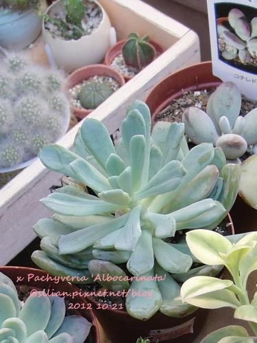 x Pachyveria 'Scheideckeri' / x Pachyveria 'Albocarinata' / 花立田 / 立田錦