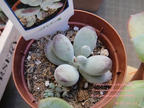 Cotyledon orbiculata ver. / Cotyledon orbiculata 'Darumafukumusume' / 福娘と嫁入り娘の交配種