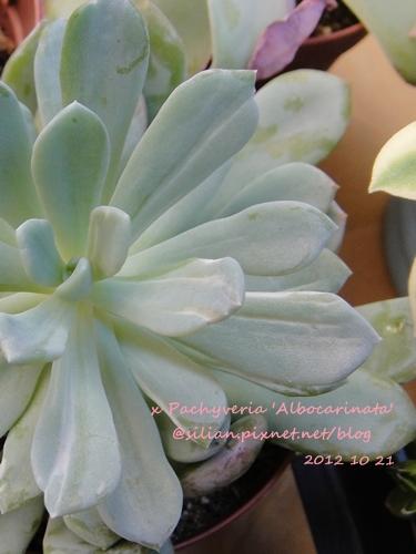 x Pachyveria 'Scheideckeri' / x Pachyveria 'Albocarinata' / Echeveria pulchella f. variegata ? / 花立田 / 立田錦