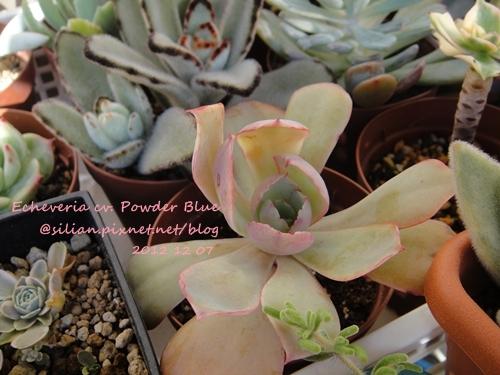 Echeveria cv. Powder Blue / パウダーブルー