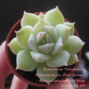 Echeveria 'Vanbreen' / Echeveria cv. Fun Queen / ファンクイーン