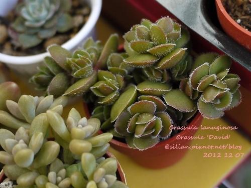 Crassula lanuginosa / Crassula 'David' / デイビッド / 花椿 / ラヌギノーサ