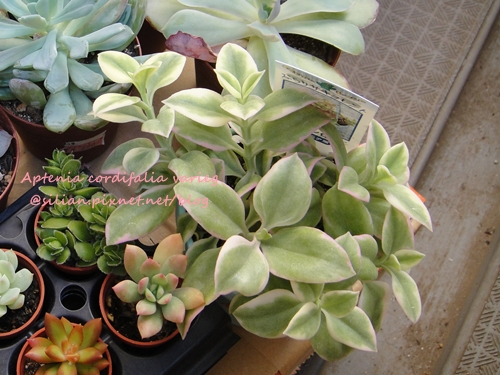Aptenia cordifalia varieg / 花蔓草錦 / 白覆輪花蔓草 / ベビーサンローズ