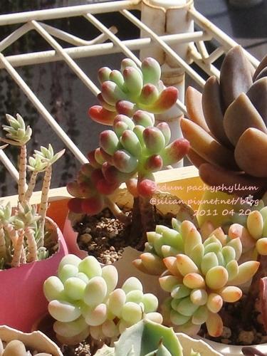 Sedum pachyphyllum / 乙女心 110420 回日後大整理