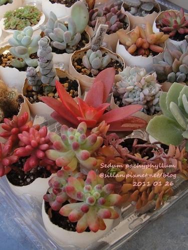 Sedum pachyphyllum / 乙女心 201101 回台前