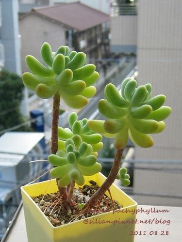 Sedum pachyphyllum / 乙女心