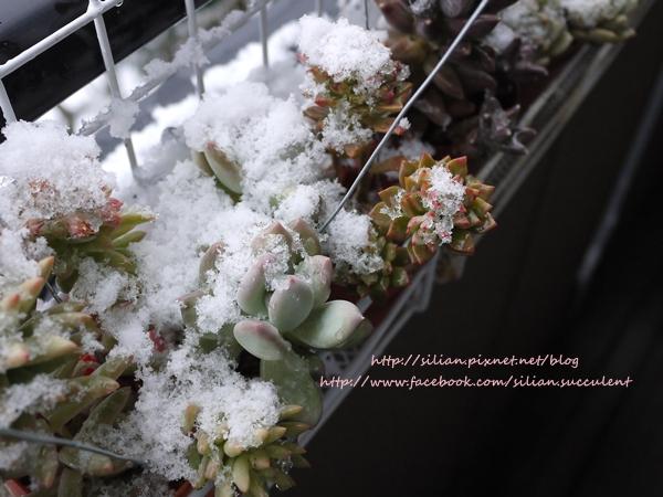 Succulent Ice