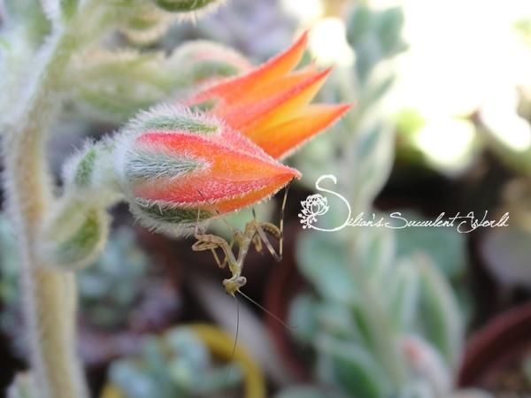 mantis 螳螂卵鞘和小螳螂