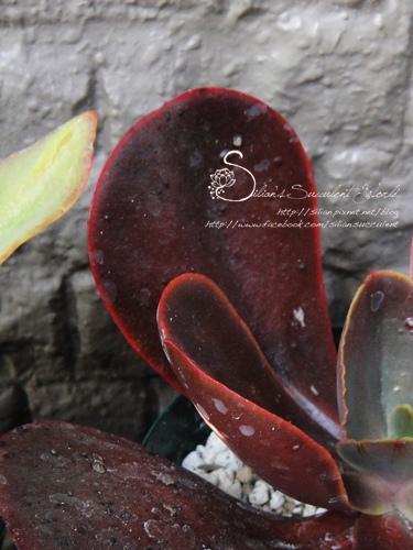 Echeveria 'Mahogany Rose' / マホガニーローズ / 紅木玫瑰